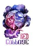 Couve vermelha Aquarela do desenho da mão no fundo branco com título ilustração do vetor