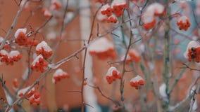 Couvert de buissons de neige avec les baies rouges dans le mouvement lent d'hiver clips vidéos