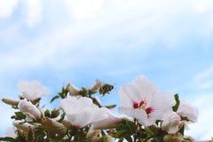 couvert de pollen gaffez l'abeille en vol Photo libre de droits