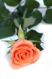 Couvert de rosée s'est levé photographie stock libre de droits