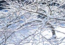 Couverture de neige sur l'érable japonais Photographie stock libre de droits