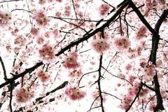Couverture des fleurs de cerise Photo stock