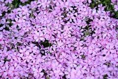 Couverture végétale de phlox Image libre de droits