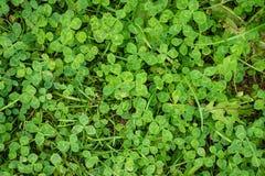 Couverture végétale verte de trèfle Image stock