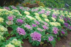 Couves decorativas decorativas roxas e verdes em um g botânico Imagem de Stock