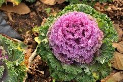Couves-flores coloridas Fotos de Stock Royalty Free
