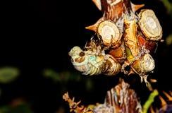 Covata della cicala Fotografie Stock