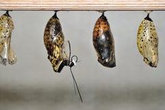 Covata della farfalla da cocon Immagine Stock