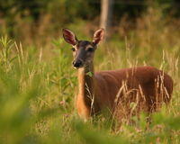 Cove Doe Royalty Free Stock Image