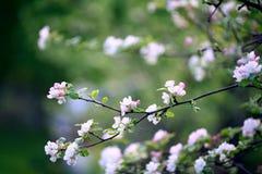 Covenants cherry fragrance perfume Stock Photo