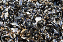 Cover of clams Royalty Free Stock Photography