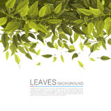 Cover green leaves on a white background Stock Images