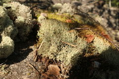 Cover of lichen. On moss Stock Photo