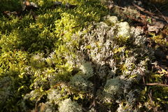 Cover of lichen Royalty Free Stock Photography