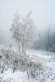 Coverage birch tree at frozen winter forest Royalty Free Stock Photography