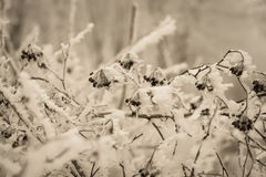 Coverage branch with berries on winter background Royalty Free Stock Photography