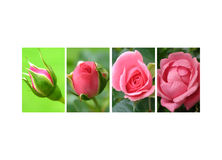 Coverage of roses stock photos