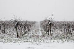 coverd雪葡萄园冬天 库存图片