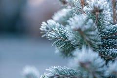 Coverd conifero con la brina immagini stock libere da diritti