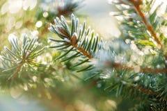 Coverd conifero dei germogli con la brina fotografie stock libere da diritti