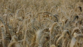 Covered Barley Grains in a Barley Field stock footage