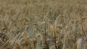 Covered Barley Grains in a Barley Field stock video