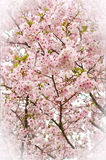 Covered Cherry Blossom Stock Images