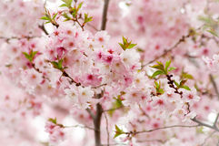 Covered Cherry Blossom Royalty Free Stock Photography