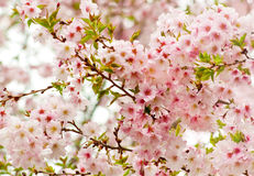 Covered Cherry Blossom Royalty Free Stock Photo