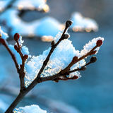 Covered Christmas branch with snow and drops in sunset winter fo Royalty Free Stock Image