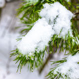 Covered Christmas fir branch with snow and drops in winter fores Stock Photos