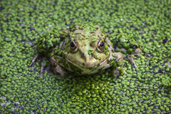 Covered frog Royalty Free Stock Images