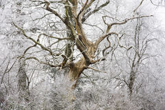 Covered in frost. Close-up of a tree covered in frost Royalty Free Stock Photography