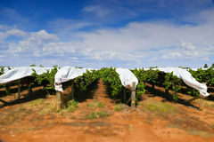 Covered Grapes in Vineyard Royalty Free Stock Images
