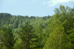 Covered with mixed forests of the Altai mountains. Royalty Free Stock Photography