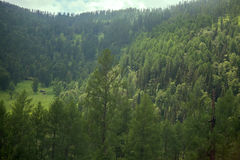 Covered with mixed forests of the Altai mountains. Stock Photos