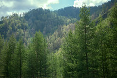 Covered with mixed forests of the Altai mountains. Royalty Free Stock Images