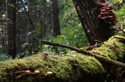Covered with moss fallen tree in the wild coniferous forest Royalty Free Stock Photo