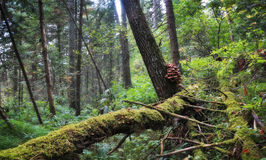 Covered with moss fallen trees in the wild fir forest Stock Photography