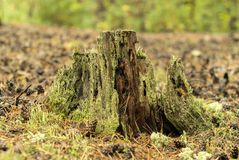 Old stump in the forest Royalty Free Stock Photo