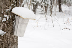 Covered Sap Pail on Maple Tree in Winter Royalty Free Stock Images