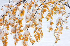 Covered in snow. Leaves covered in snow stock images