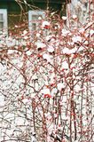 Covered with snow dog rose bushes with red berries in winter stock photos