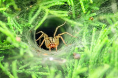 Covered spider. Stalker is hiding in hole, covered spider web and waits for prey Stock Photography