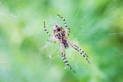 Covered spider Royalty Free Stock Image