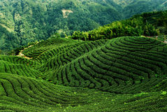 Covered with a tea mountain Royalty Free Stock Images