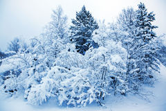 Covered Trees In Snow Royalty Free Stock Image