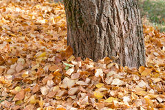 Covered trunk. The tree trunk is covered for the winter by fallen leaves Stock Images