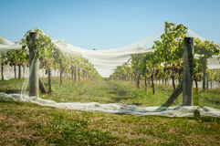 Covered Vineyard, Auckland, New Zealand Stock Photo
