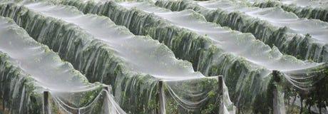 Covered vineyard, Tasmania. A net-covered vineyard, Tasmania, Australia (to protect from birds Stock Image